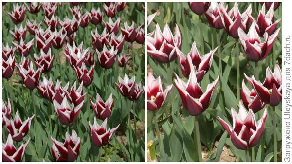 Тюльпан сорт Rajka