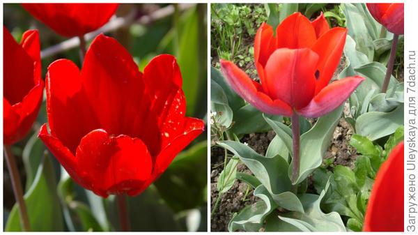 Тюльпан сорт Couleur Cardinal