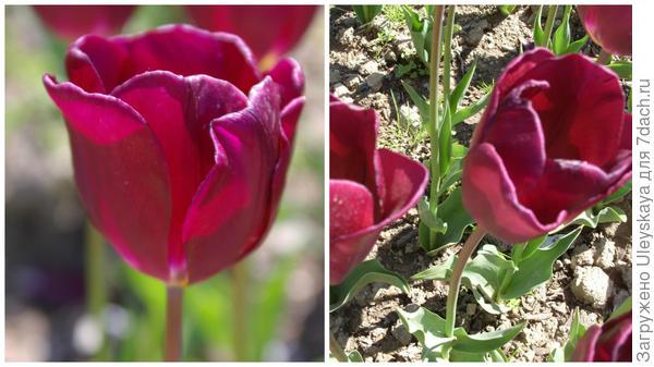 Тюльпан сорт Purple Lady