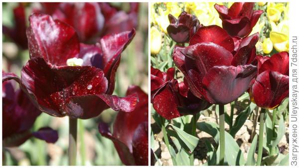 Тюльпан сорт Jan Reus