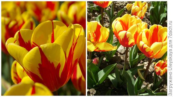 Тюльпан сорт Holland Queen