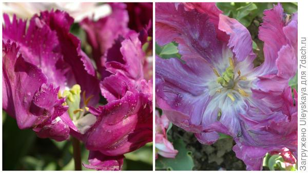 Тюльпан сорт Violet Bird