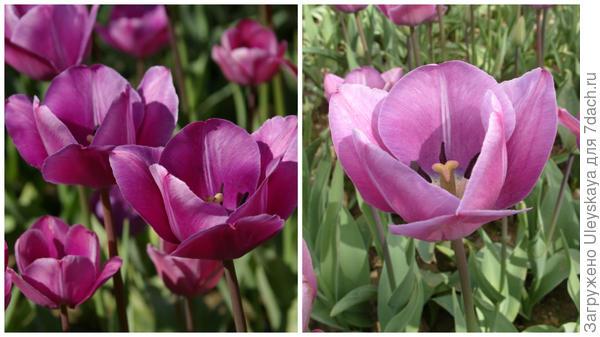 Тюльпан сорт Сад Счастья