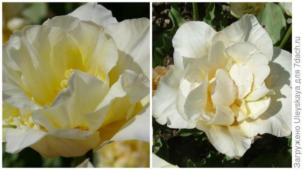 Тюльпан сорт Silk Road