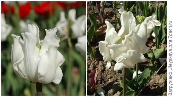 Тюльпан сорт White Liberstar