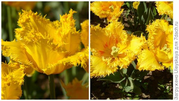 Тюльпан сорт Valery Gergiev Yellow