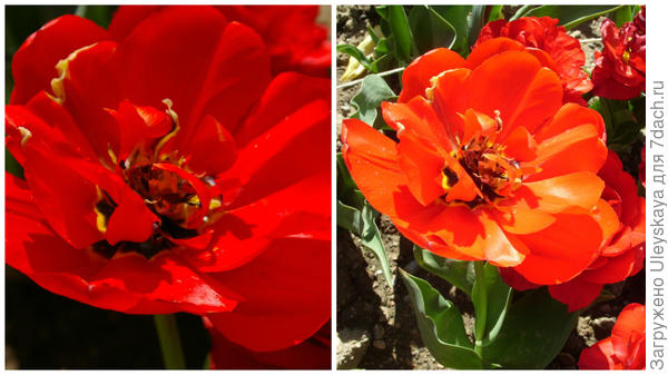 Тюльпан сорт Красный Махровый