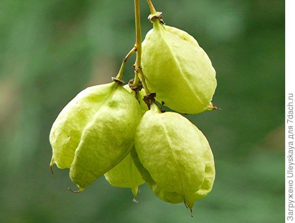 Плоды клекачки колхидской, фото сайта www.botanischer-garten-wuppertal.de