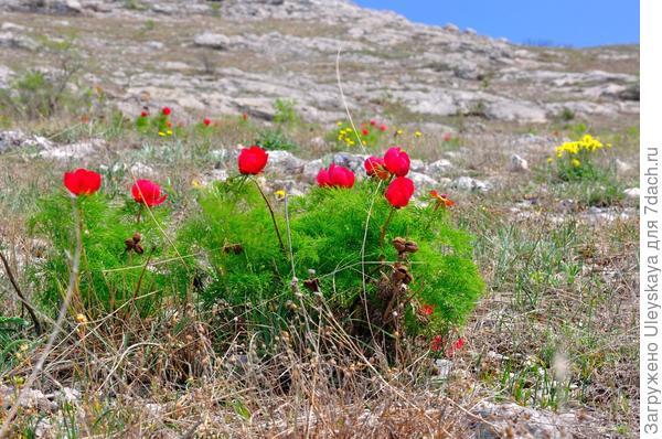 Цветет пион тонколистный