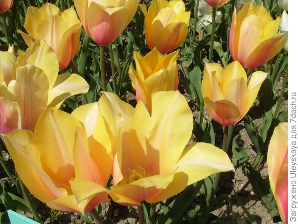 Тюльпан сорт Bluching Lady