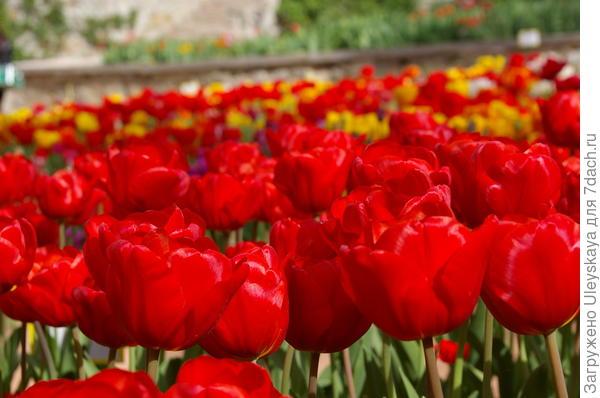 В подарок тюльпаны из Крыма