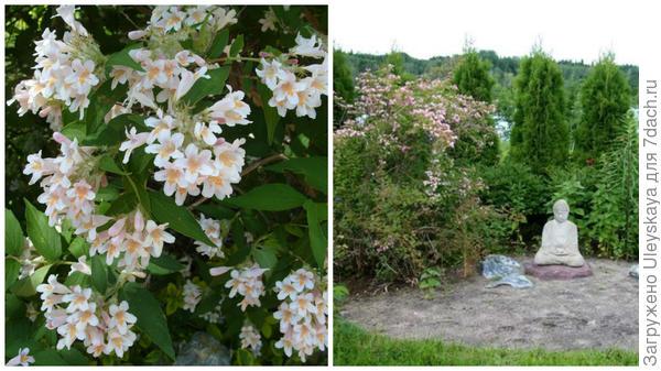Слева кольквиция прелестная в моем объективе, справа кольквиция в композиции с другими растениями, фото сайта www.infojardin.com