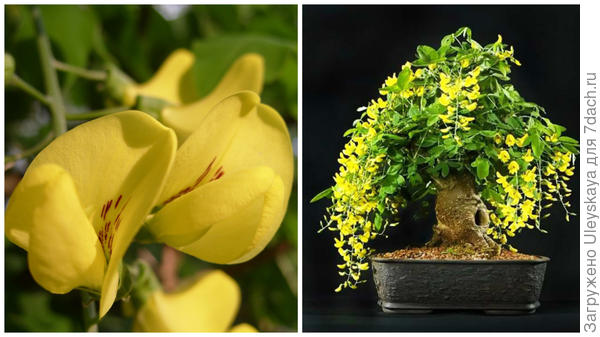 Слева цветок бобовника обыкновенного крупным планом в моем объективе, справа бобовник в стиле бонсай, фото сайта adenium-doma.ru