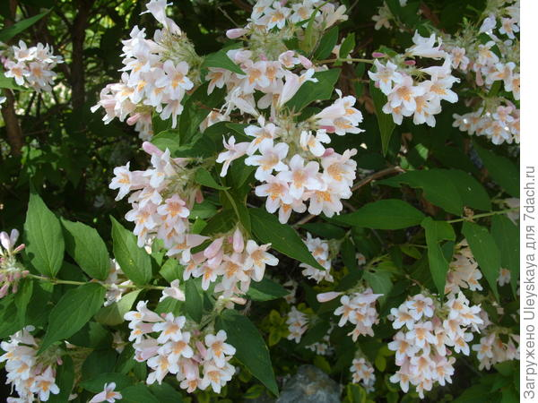Цветет кольквиция