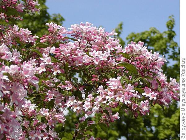 Кольквиция декоративная форма Pink Cloud, фото сайта www.flora-company.ru