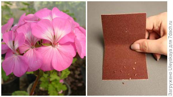 Красавица пеларгония в моем объективе, слева скарификация семян бегонии наждачной бумагой, фото сайта outdoor.usadbaonline.ru