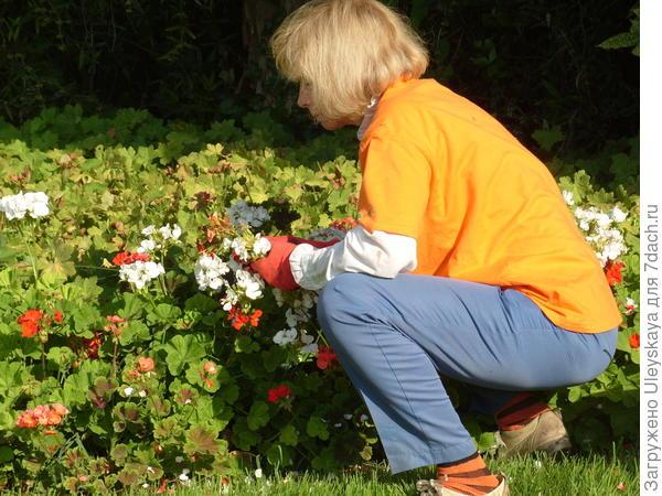 Удаление отцветших соцветий пеларгонии