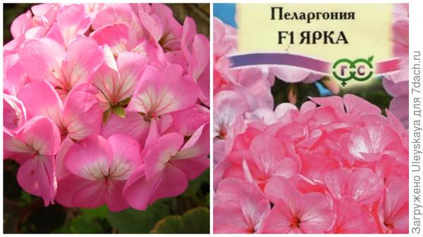 Слева пеларгония зональная в моем объективе, справа пакетик семян, такой или похожий может оказаться в ваших руках, фото сайта 1semena.ru