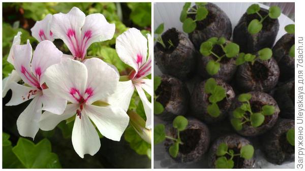 Слева еще до такого цветения месяцы, справа посев семян в торфяные таблетки, фото пользователя сайта Валентины Бугай