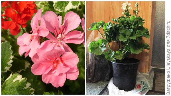 Слева пеларгонии еще цветет, перед заморозками пересаживаем в горшки и в дом, фото сайта www.jflorist.ru