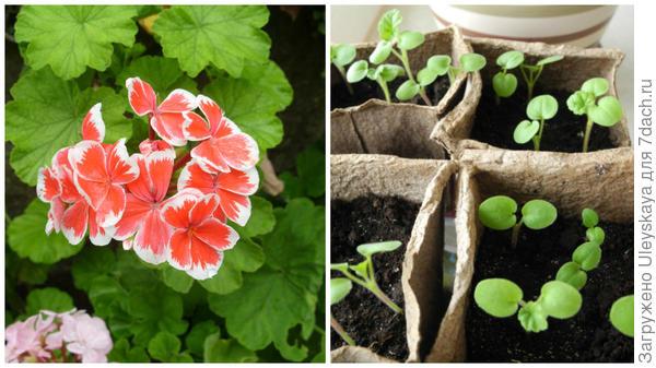 Очередная пеларгония в моем объективе, справа всходы пеларгонии, фото сайта posydenky.lvivport.com