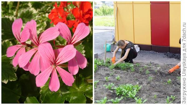 Слева - все ближе время такого цветения, справа - посадка рассады в открытый грунт, фото сайта ok.ru