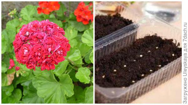 Слева очередная красавица-пеларгония в моем объектива, справа посев семян пеларгонии, фото сайта www.glav-dacha.ru