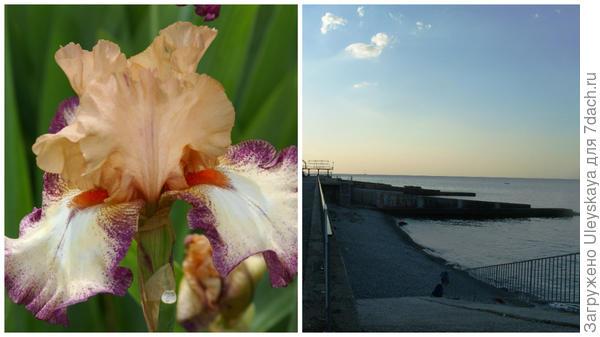 Ирис и вид на утренний Мартьян, пляжи Никитского сада