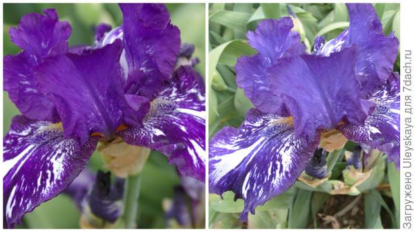Ирис бородатый сорт Violet Tiger