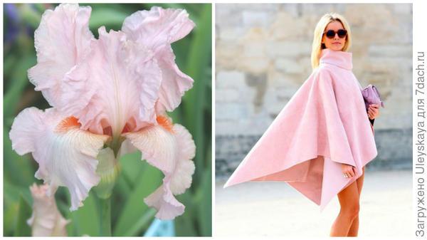 Ирис сорт Fragrant Lilac и цвет розовый кварц в модном тренде, фото сайта www.glamusha.ru