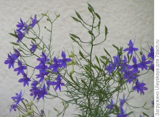 Живокость полевая, фото сайта greenmedicine.ru