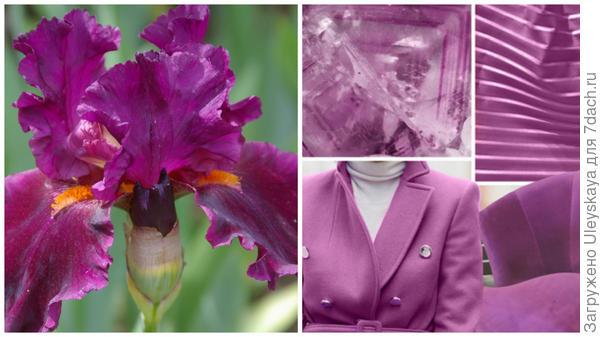 Ирис сорт Cherry Glen и цвет фуксии в модном тренде, фото сайтаwww.karday.ru
