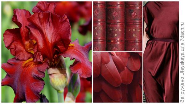 Ирис сорт New Centurion и цвет бургунди в модном тренде, фото сайта fchannel.ru