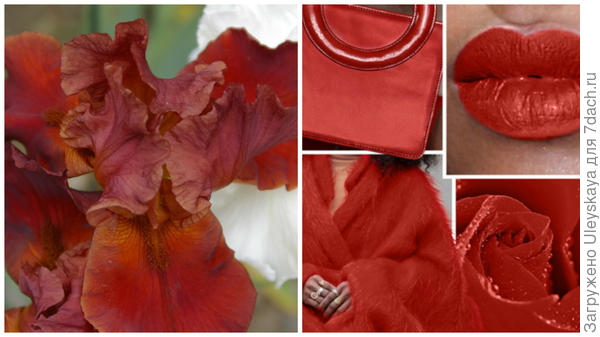Ирис сорт Deep Fire и цвет Aurora Red в модном тренде, фото сайта www.karday.ru
