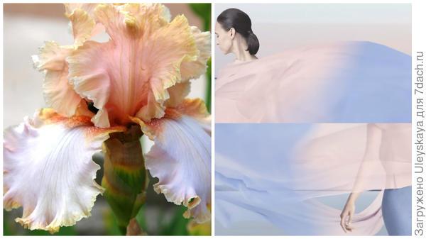Ирис сорт Marriage Vows, оттенки розового и голубого, фото сайта hochu.ua