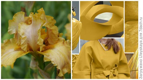 Ирис сорт Brandy и цвет Spicy Mustard в модном тренде, фото сайта www.karday.ru