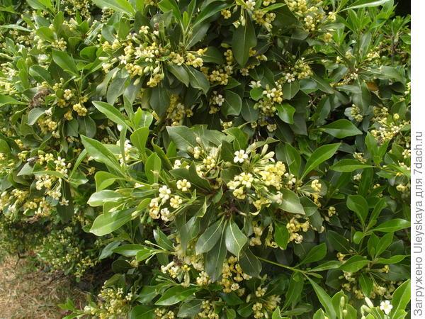 Вечнозеленый кустарник с божественным ароматом - смолосемянник разнолистный