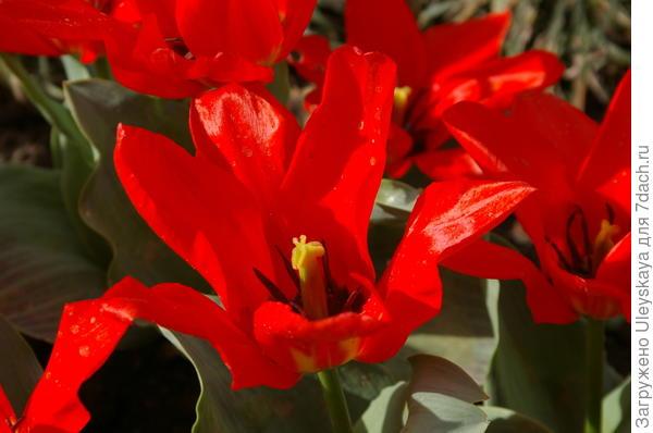 Тюльпан сорт Звездопад