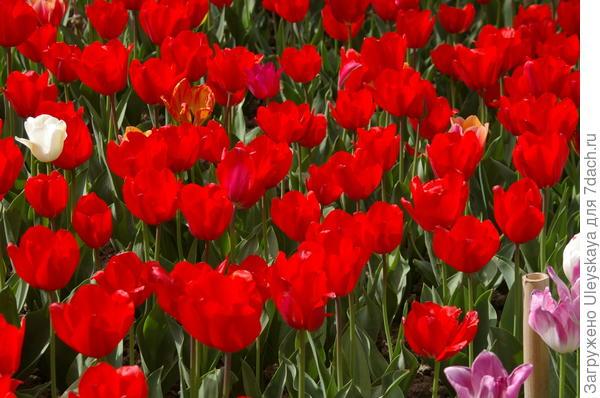 Тюльпаны сорт Red Matador