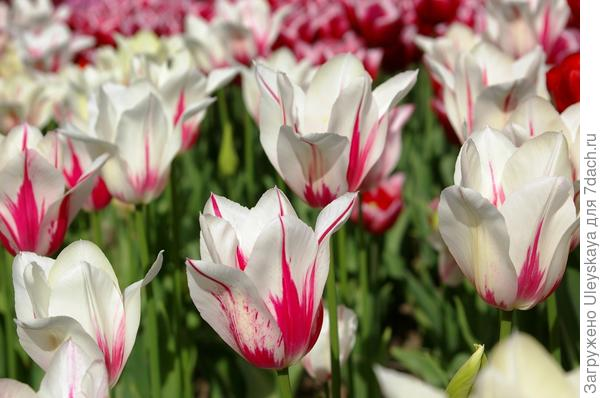 Тюльпаны сорт Marilyn