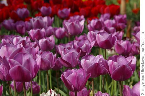 Тюльпаны сорт Сад Счастья
