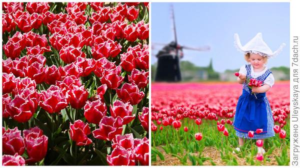 Слева тюльпаны в Саду в мае 2016 года, справа тюльпаны в Голландии, фото сайта www.putevochka.by