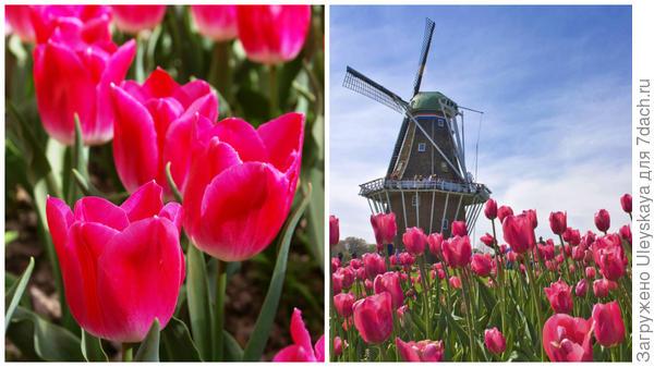 Слева в Саду, справа Голландия – страна тюльпанов, сыра и ветряных мельниц, фото www.liveinternet.ru