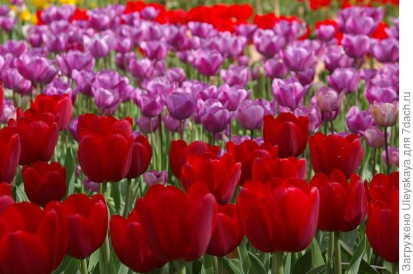 Тюльпаны в Никите, Южный берег Крыма