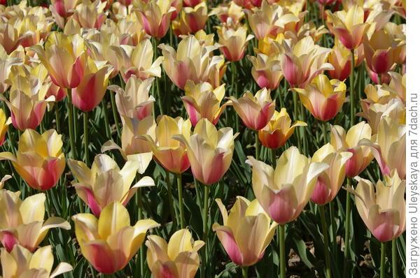 Тюльпаны сорт Blushing Lady