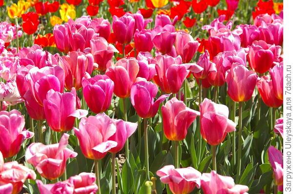 Тюльпаны сорт Ace Pink