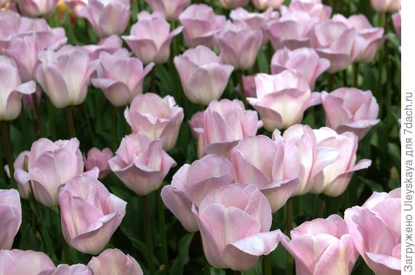 Тюльпаны сорт Barcelona Beauty в Никите
