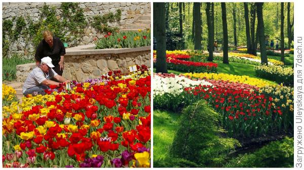 Слева тюльпаны в Саду, справа тюльпаны в Кёкенхофе, фото сайта tuizm.ru