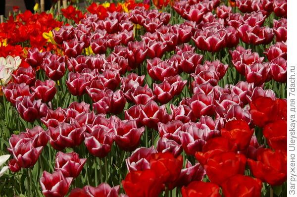 Массовое цветение тюльпанов в Крыму