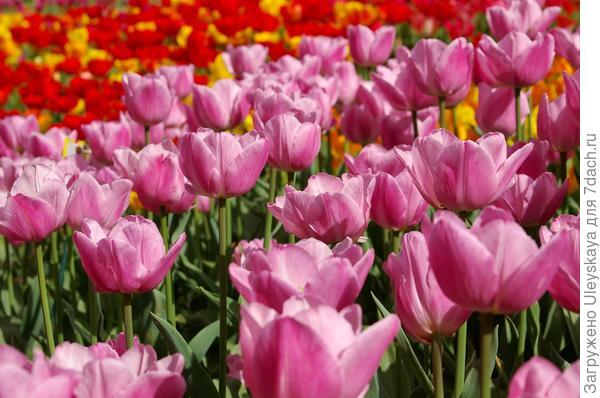 Тюльпаны сорт Lima